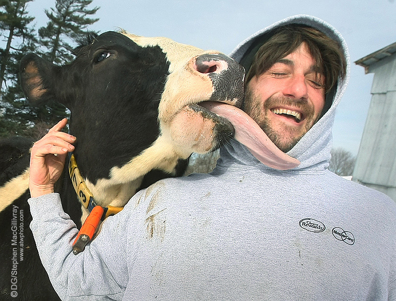 Friendly cow